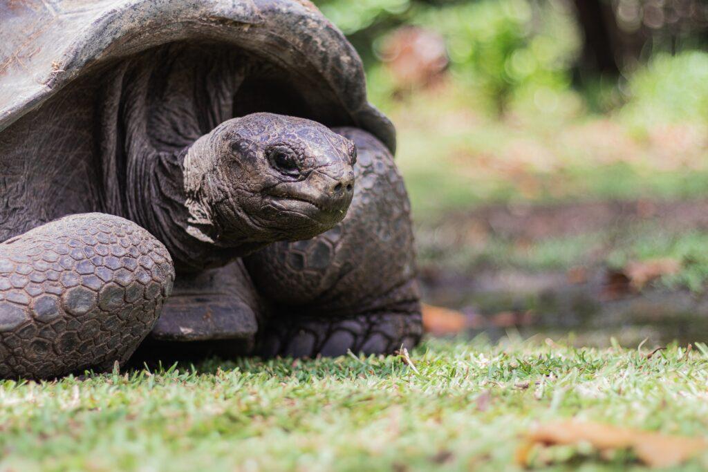 Seychellerna sköldpadda